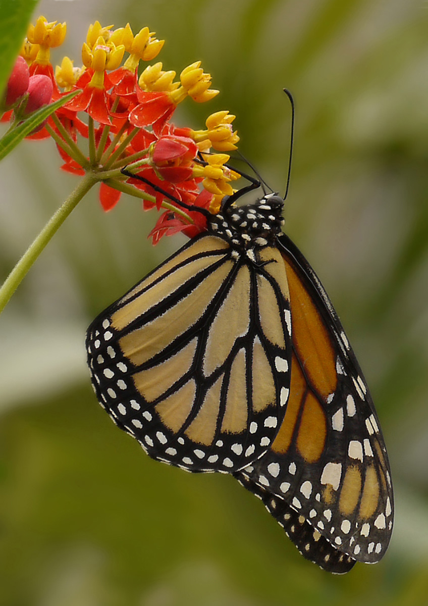Monarch Butterfly by Wendy Bate
