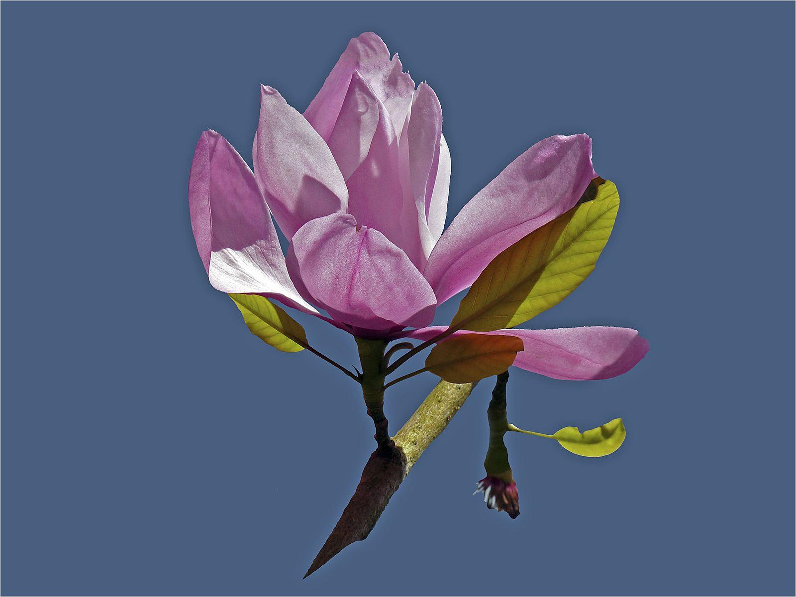Magnifiecent Magnolia - Carol