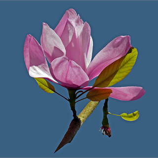 Magnifiecent Magnolia - Carol.jpg