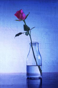 =3rd Rose in a bottle-Victor