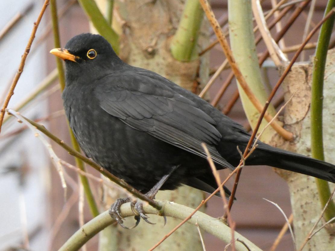 Blackbird - Karen