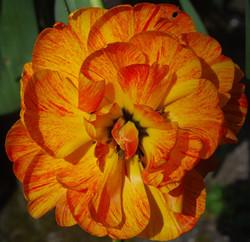 Double tulip - Chris