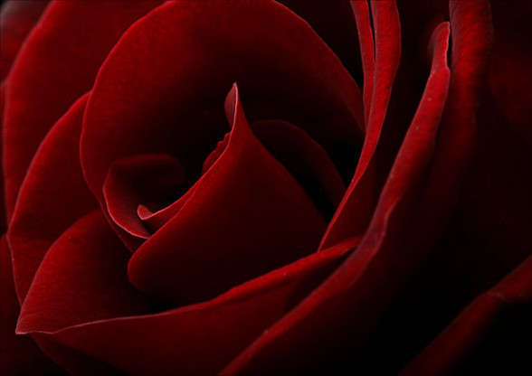 =1st Red Rose - Victor.jpg