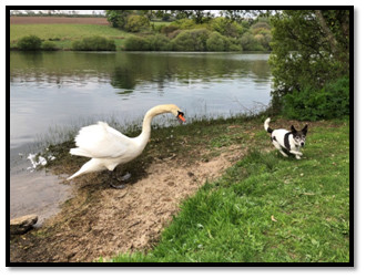 Swan attack