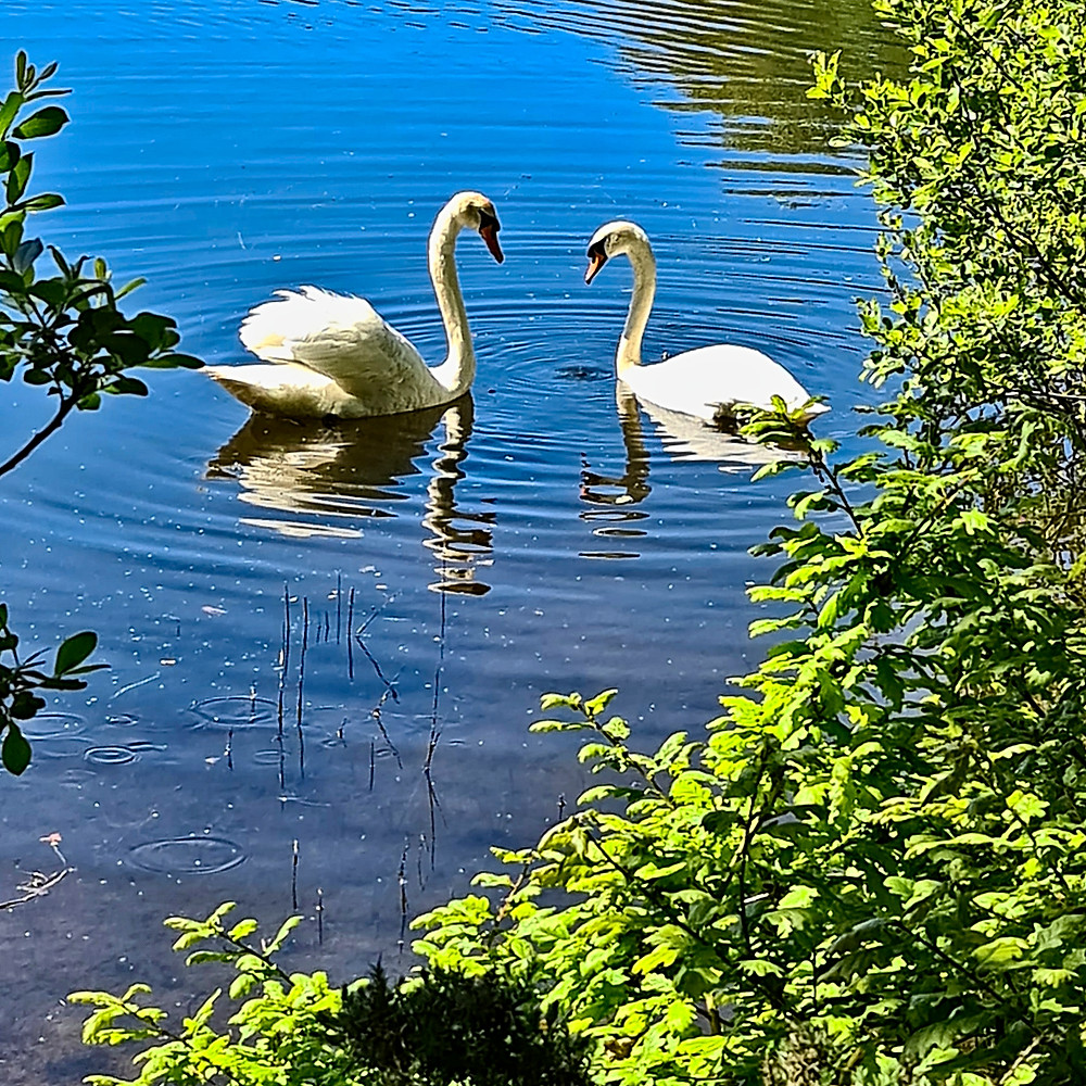 Swans after