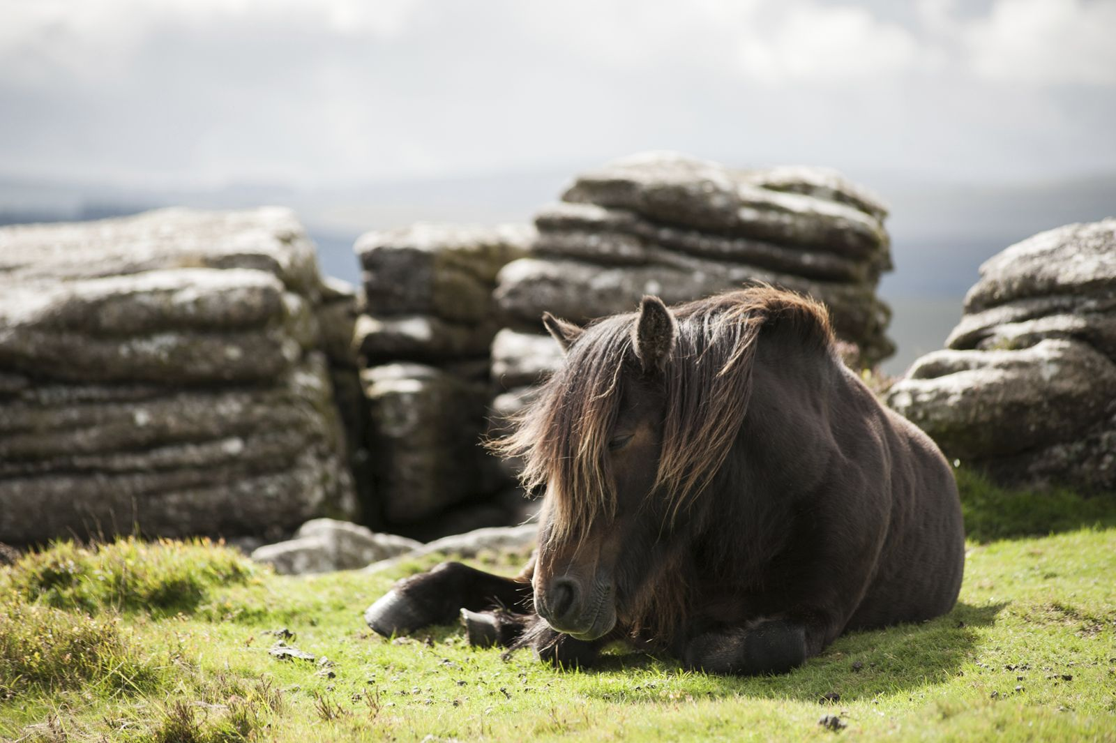Sleepy Dartmoor pony - Maly