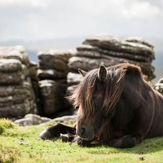 Sleepy Dartmoor pony - Maly.jpg