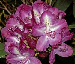 Purple Beauty - Carol