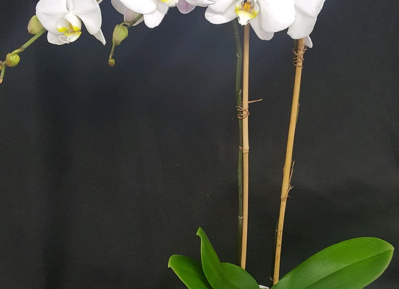 2 Stem Orchid - PL100-OR1