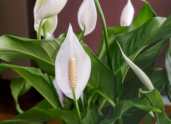 "6"" Spathiphyllum Plant (Peace Lilly)- PL55-PL6"