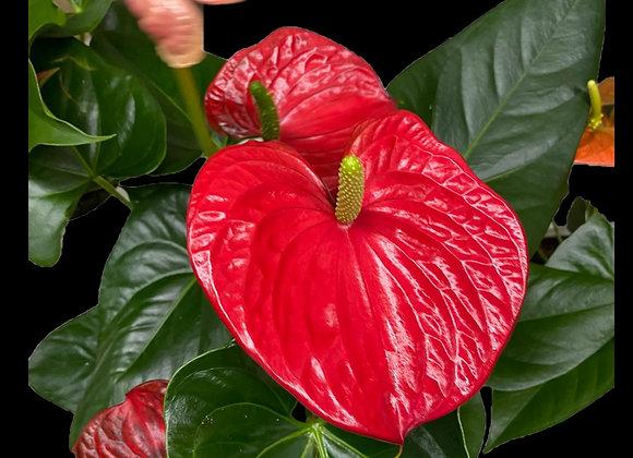 """6"""" Anthurium Plant - PL55-AN1"""