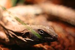 iguanasm.jpg