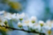Blossoms on the Mountain Sonoma Mountain Zen Center