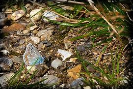 almindelig blåfugl 1_pe.jpg