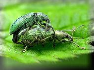 grøn snudebille1_pe.jpg