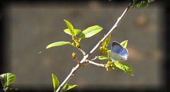 Skovblåfugl_pe.jpg