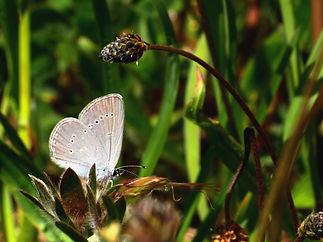 dværgblåfugl 5.JPG