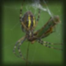 hvepsekop5_pe.jpg