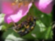 SydligBlomsterbuk1_pe.jpg