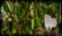 dværgblåfugl2_pe.jpg