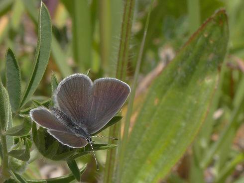 dværgblåfugl1.jpg