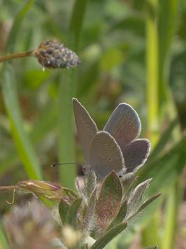 dværgblåfugl3.jpg