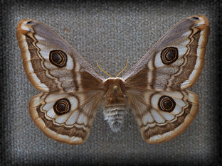 pavonia 4_pe.jpg