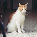 Un chat domestique