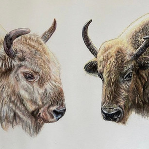Buffalo Commission