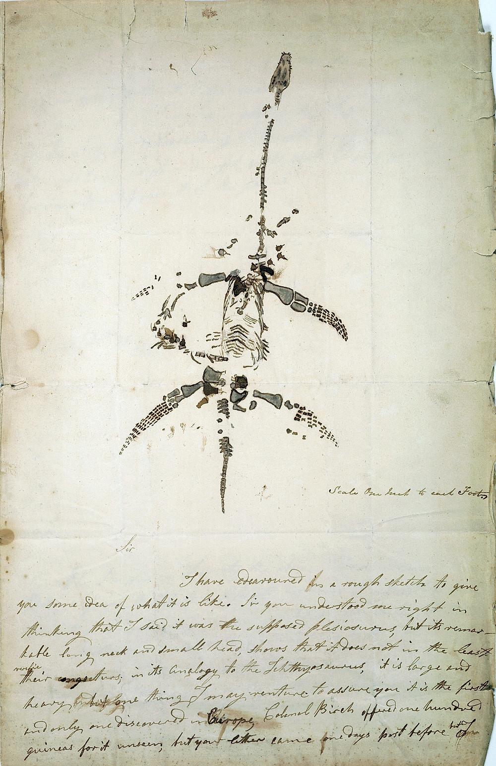 Letter and ink drawing by Anning of  the plesiosaurus, December 1923.