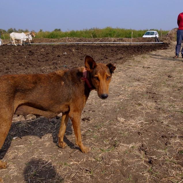 畑の番犬ラーニー