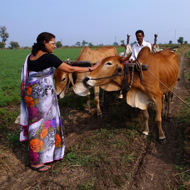 農作業を助けてくれる牛たち