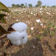 収穫時の綿花