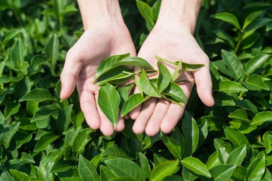 A-2茶葉Fresh tea leaves close view.jpg