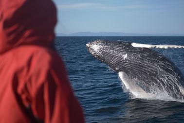 4 Breaching Humpback Whale (1).jpg