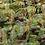Thumbnail: Brown Beech White