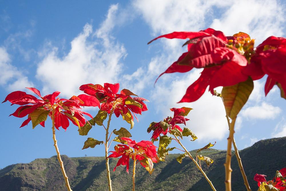 sicilia-giardinaggio-stella-natale