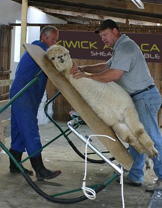 Kiwick Alpaca Shearing Table The Wrangler Ltd New Zealand