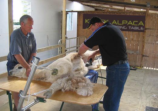 Alpaca Shearing in Kiwick Alpaca Shearing Table