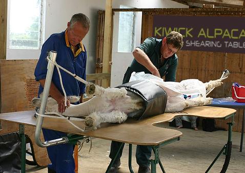 Alapa Caesration in Kiwick Alapaca Shearing Table