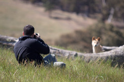 Photographing dingoes at DDC