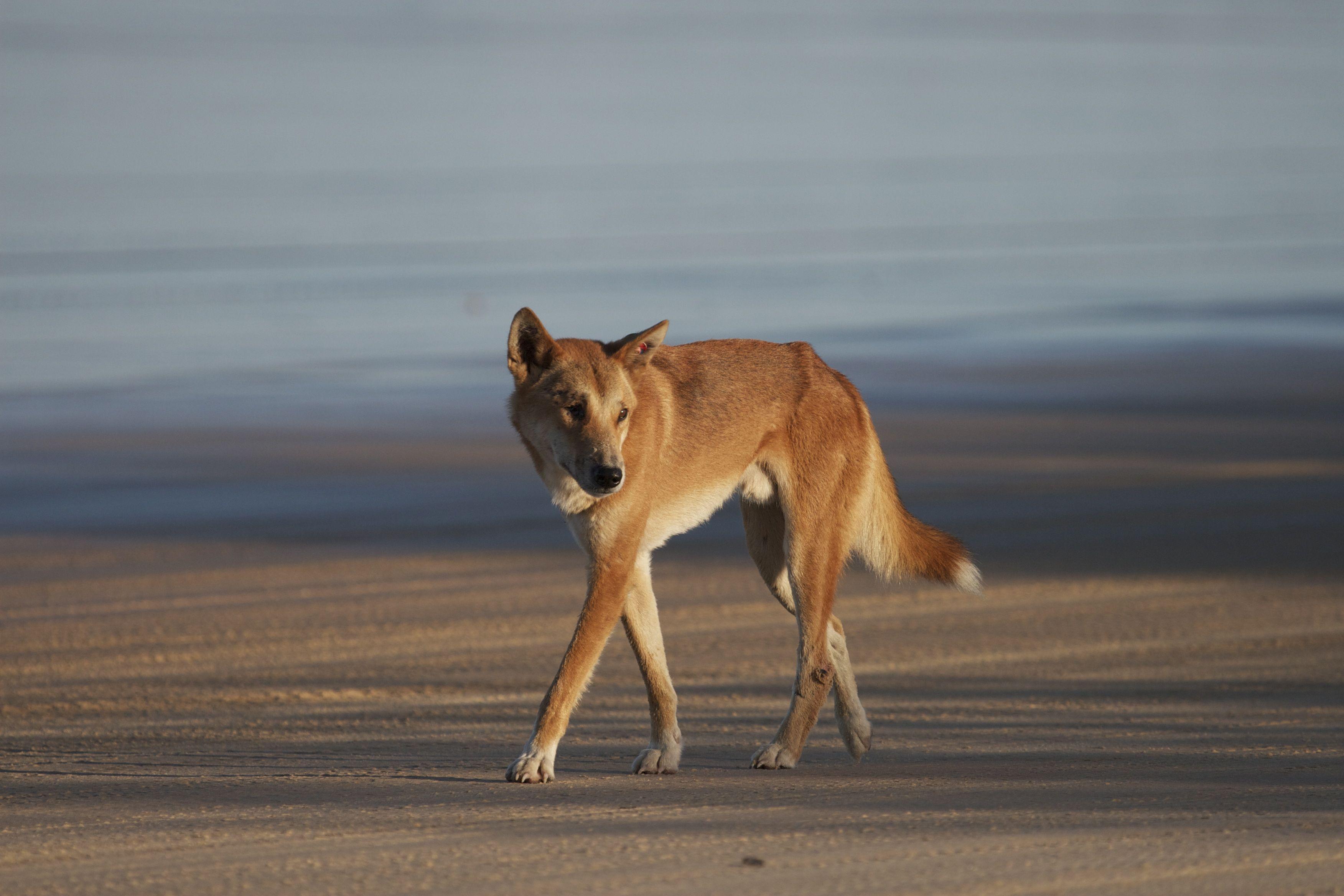 Dingo Warrior- Fraser Island