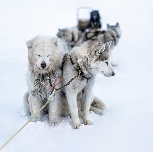 Arctic Mushers School Barentsburg Husky Center