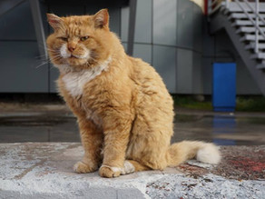 Арктический котик Кеша, главный котик Баренцбурга