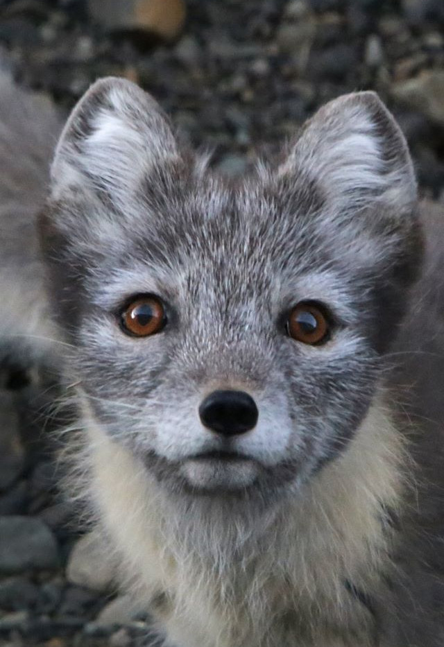 Polar_Fox