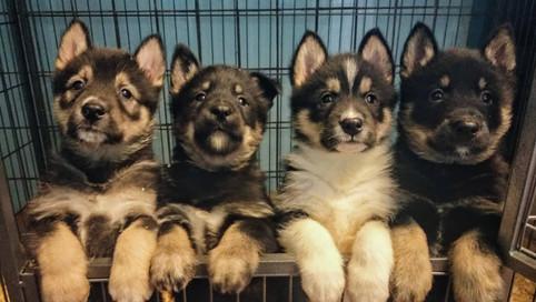 Husky kennel
