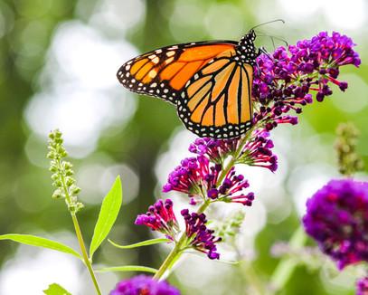 Butterfly0095.jpg