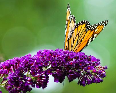Butterfly0112.jpg