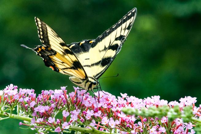 Butterfly0019.jpg