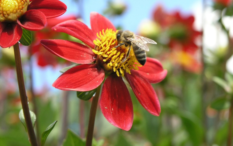 apimelis miel abeille ruche apiculture pollen polliniser